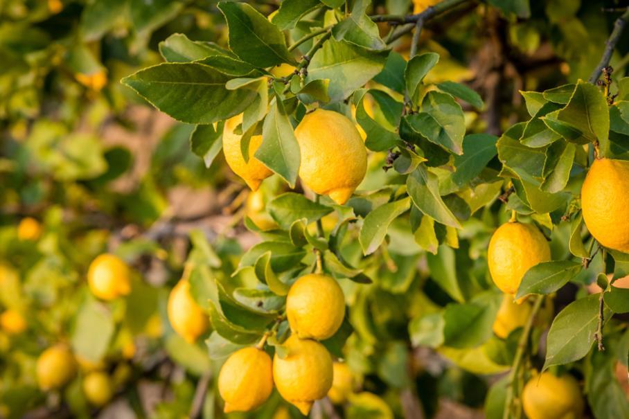 citronnier perd ses feuilles